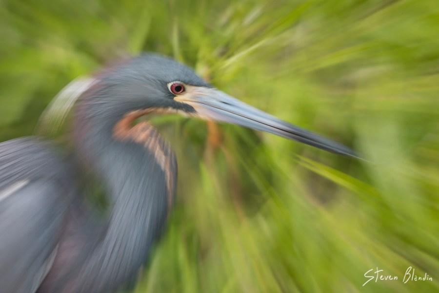 Tricolored Heron blur - Florida photography workshop