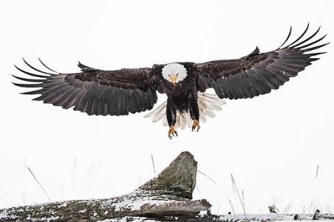 Alaska Bald Eagle Photography Tour - Landing On A Stump