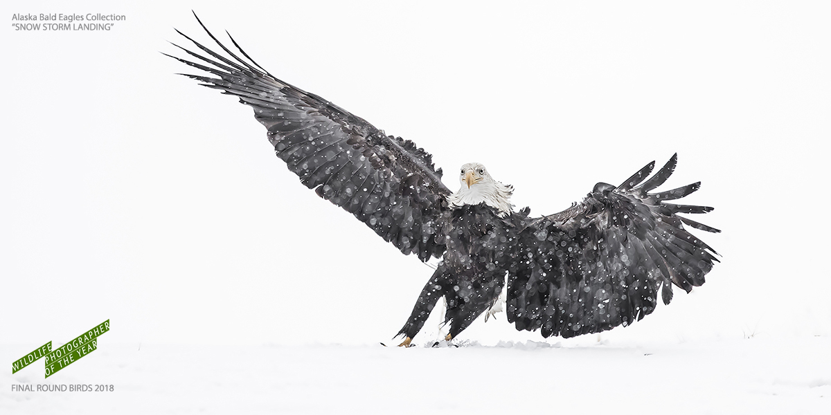Snow Storm Landing - Alaska Bald Eagle Photography Tours