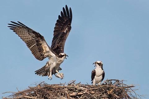 Florida Osprey Tour - At The Nest