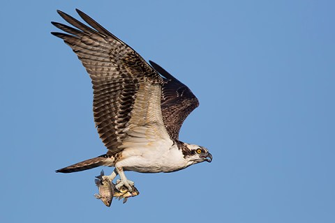 Florida Osprey Tour - Catch Of Three Fish