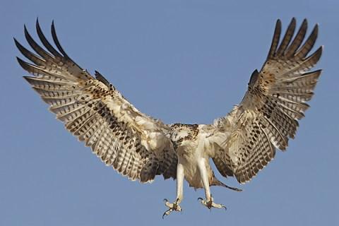 Florida Osprey Tour - Landing