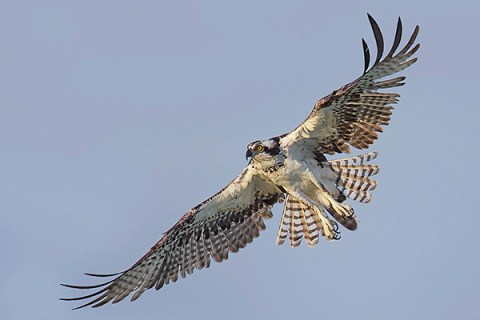 Florida Osprey Tour - Soaring Up