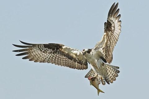 Florida Osprey Tour - With A Catch