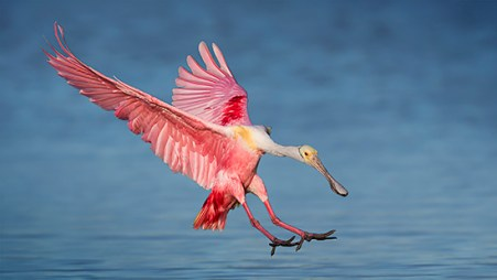 Florida Spoonbill Tour - Landing over the blue water