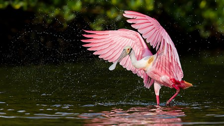 Florida Spoonbill Tour - Wing flap