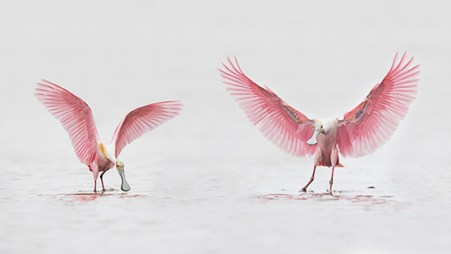 Florida Spoonbill Tour - Wings Up