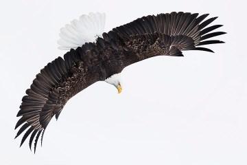Bald Eagle Tour_Banking Down
