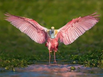 Florida Spoonbill Photo Tour