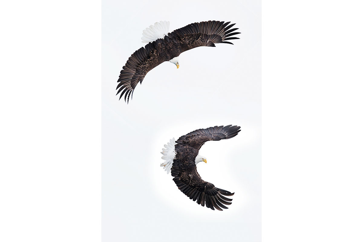 Alaska Bald Eagles_Fine Art_Catch Me If You Can