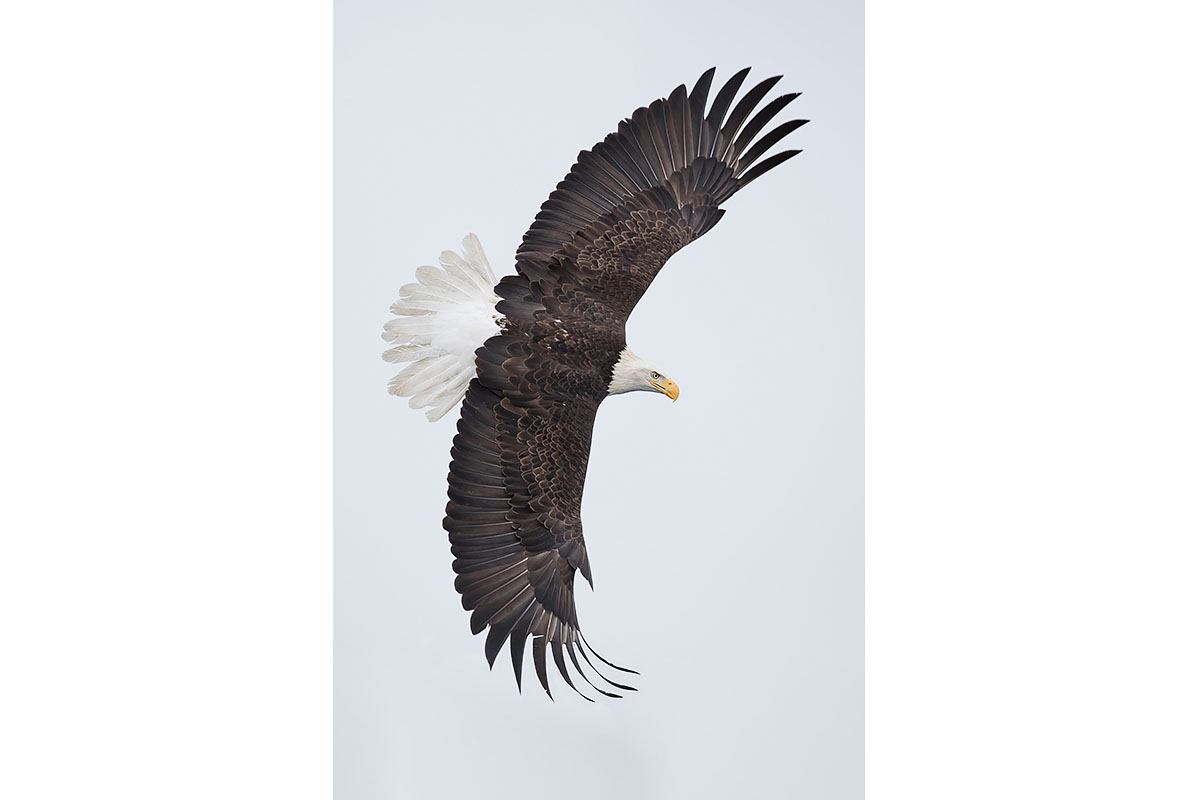 Alaska Bald Eagles_Fine Art_Classic Bank