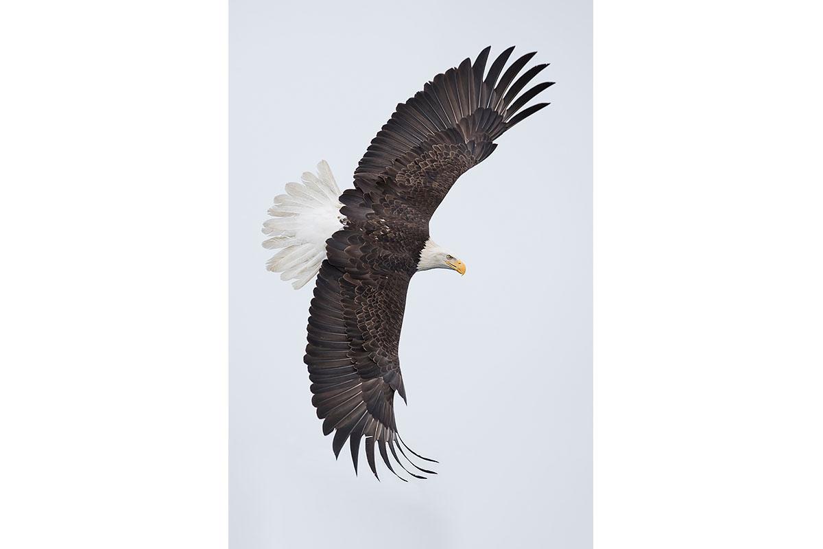 Alaska Bald Eagles_Fine Art_Classic Bank