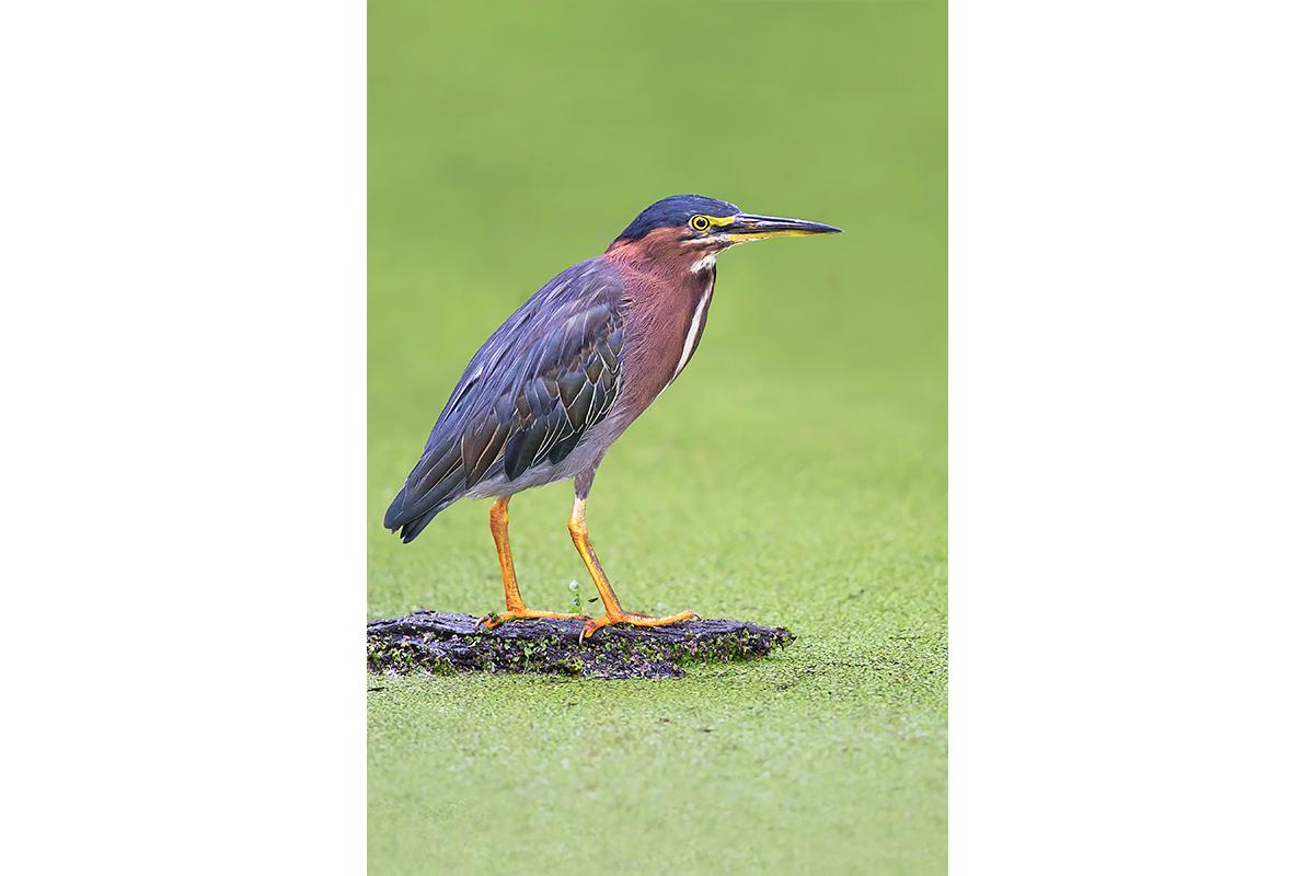 Fine Art Florida Birds_Green Heron Pose