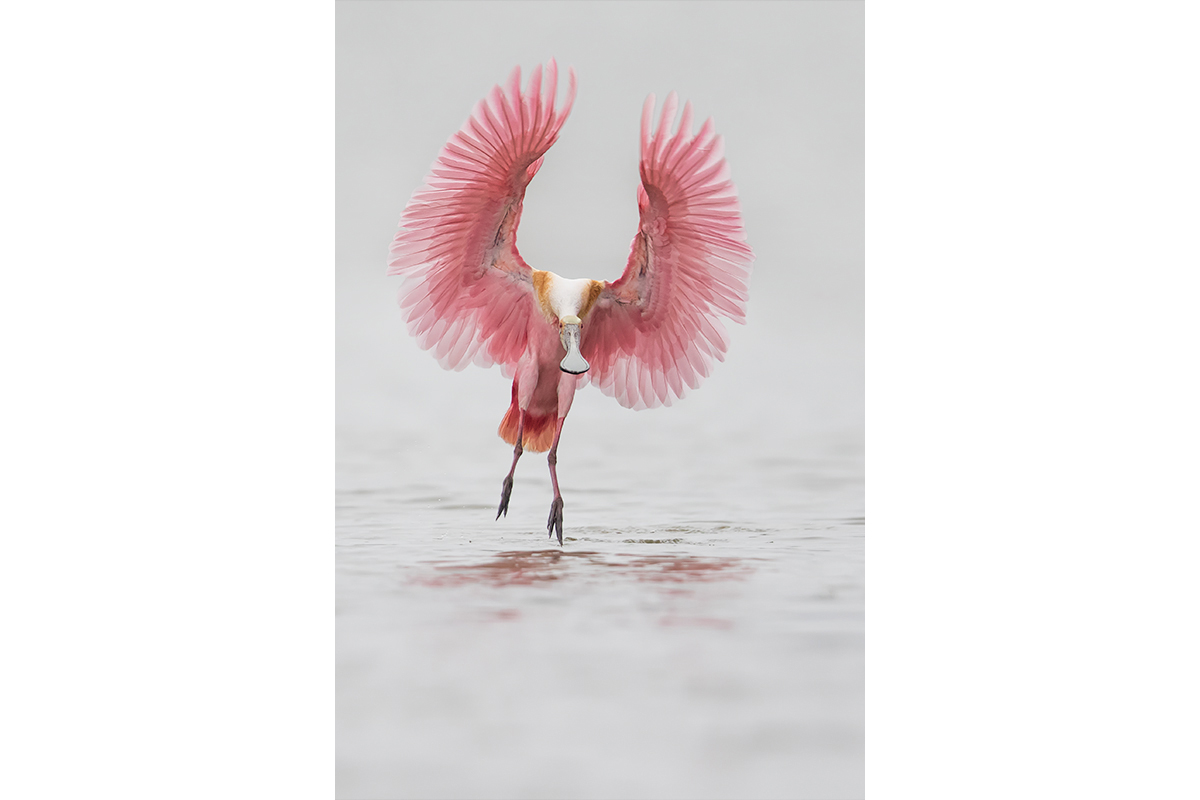 Fine Art_Florida Spoonbills_About To Touch The Water