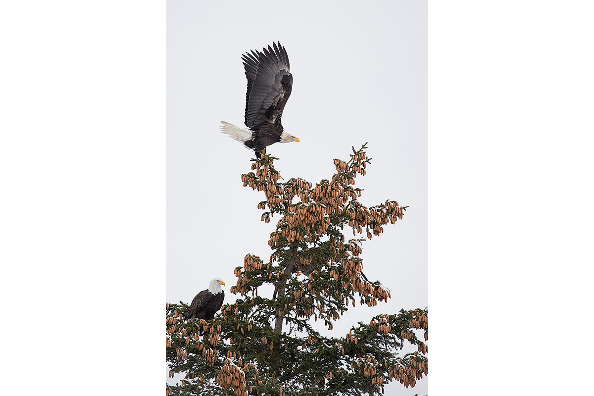 Alaska Bald Eagles_Fine Art_Tree Top Freedom
