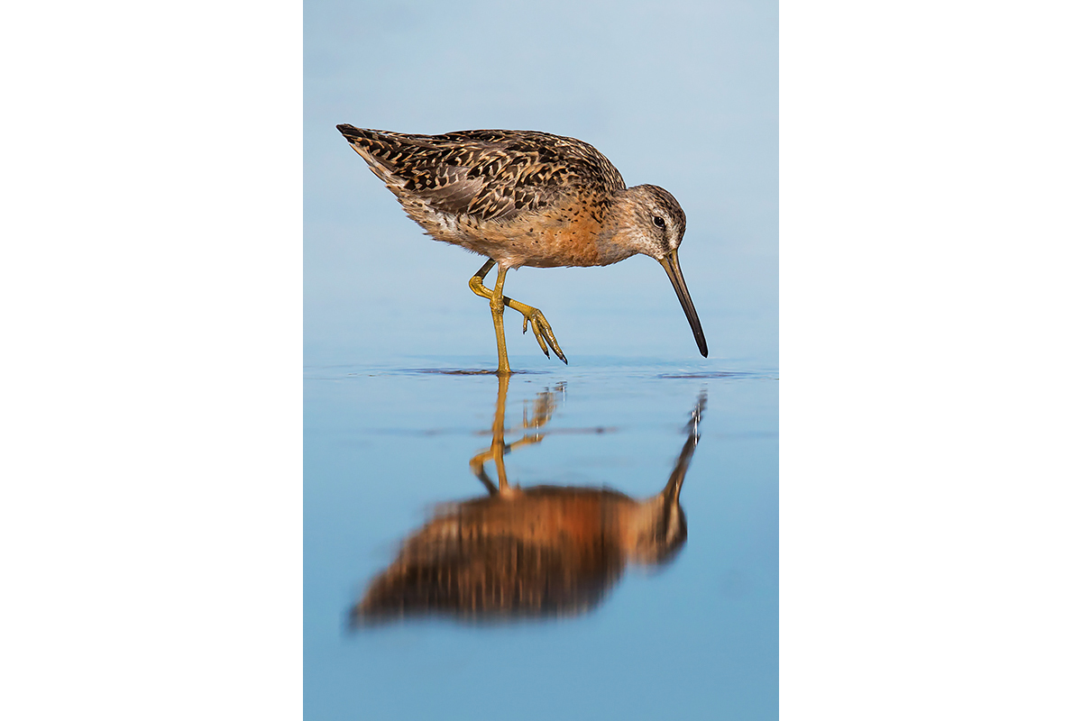 Fine Art Florida Birds_Walking Reflection