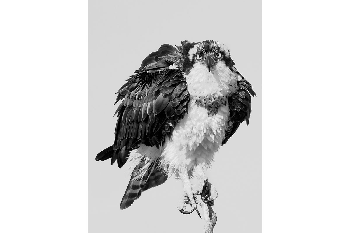Black and White_Fine Art_Raptor's Gaze
