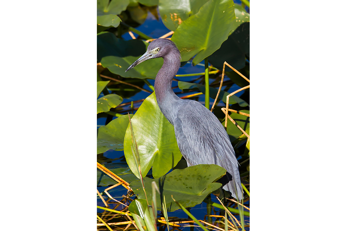 Fine Art Florida Birds_Little Blue Heron Environment