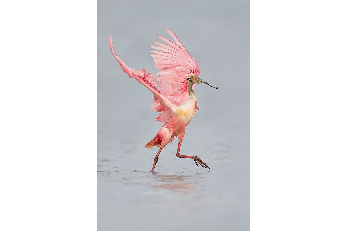 Fine Art_Florida Spoonbills_Light On My Feet