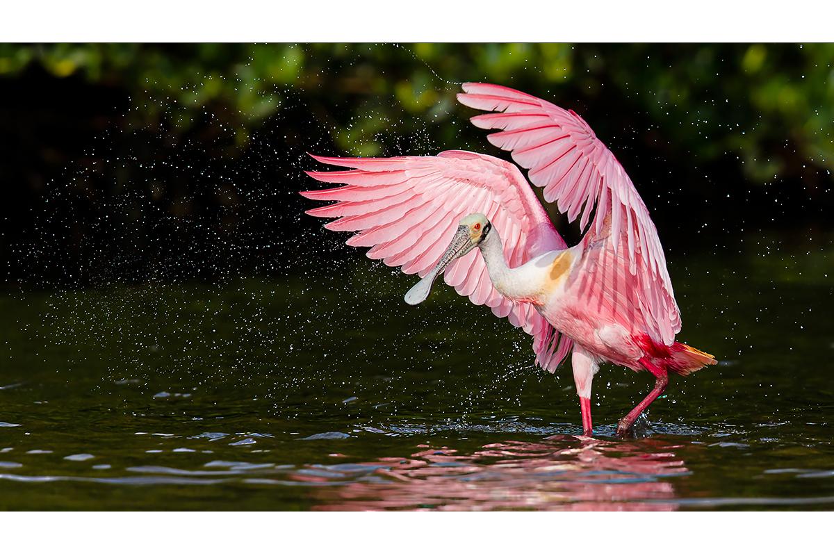 Fine Art_Florida Spoonbills_Flapping Water Drops Away