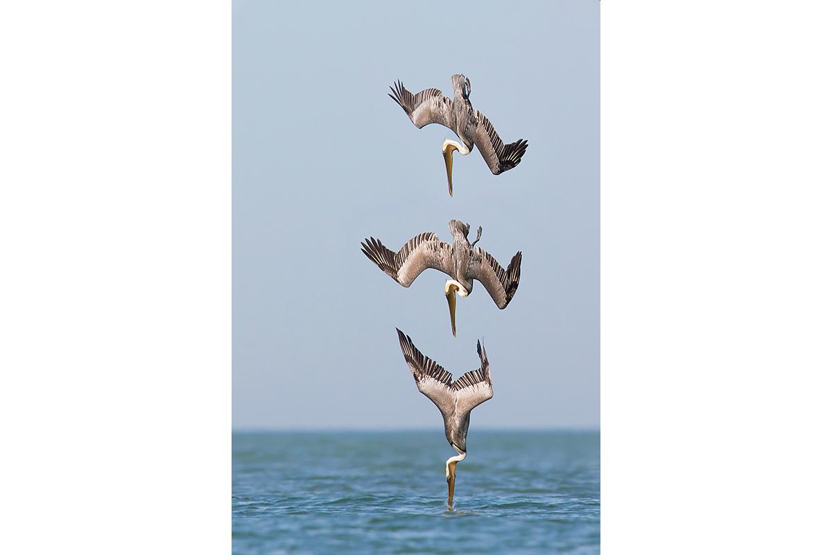 Fine Art Florida Birds_Diving Breakdown