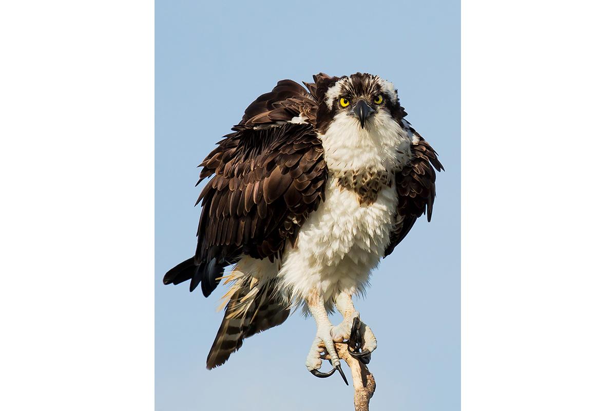 Fine Art Florida Birds_Raptor's Gaze