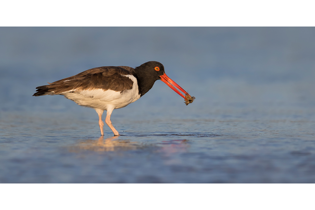 Fine Art Florida Birds_Oystercatcher