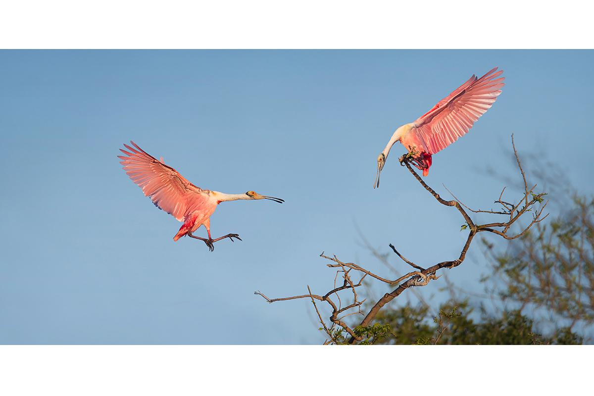 Fine Art_Florida Spoonbills_Meeting On The Tree Tops