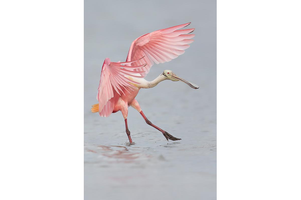 Fine Art_Florida Spoonbills_Water Dancing