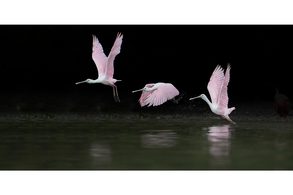 Fine Art_Florida Spoonbills_Take Off Break Down