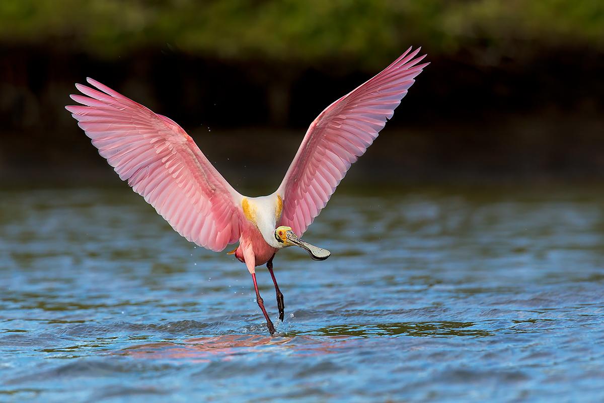 Fine Art_Florida Spoonbills_Touching Water