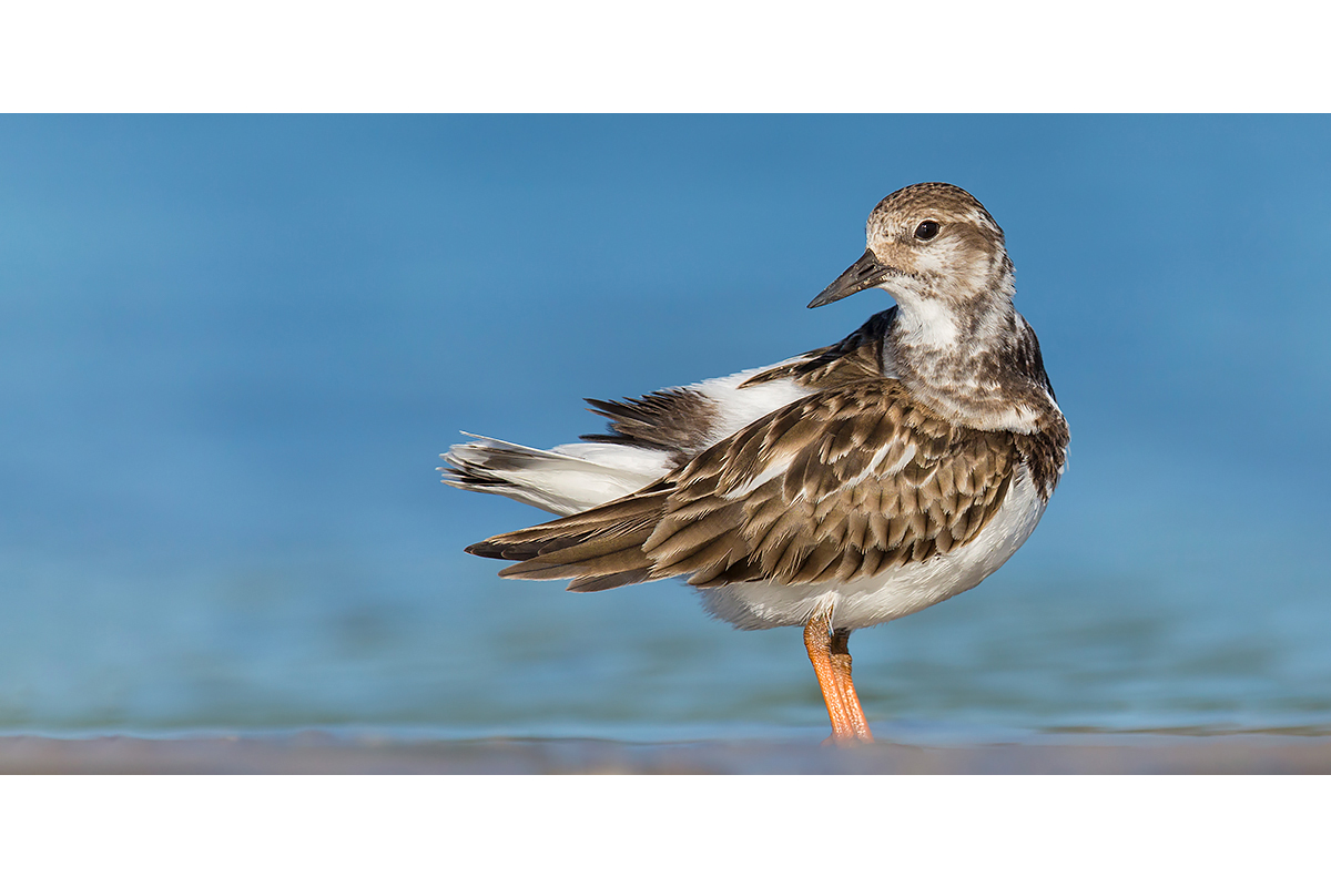 Fine Art Florida Birds_Rudy Turnstone At The Beach