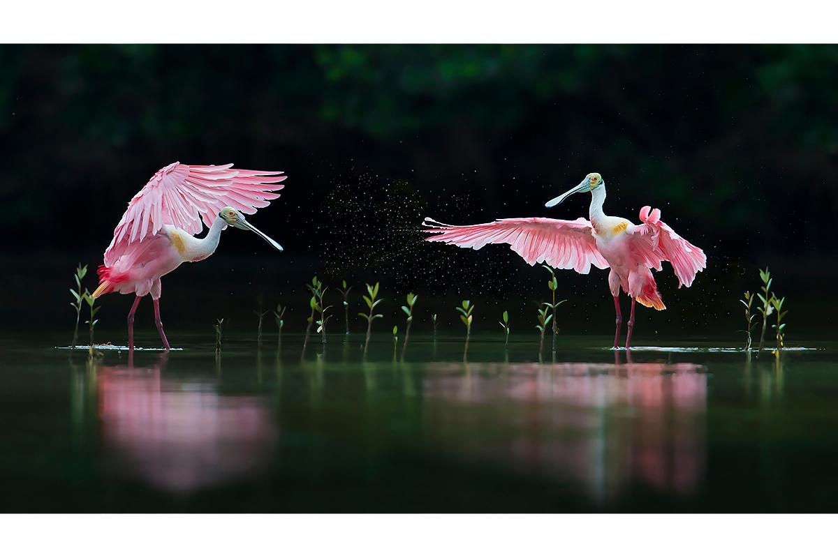 Fine Art_Florida Spoonbills_Pink Symphony