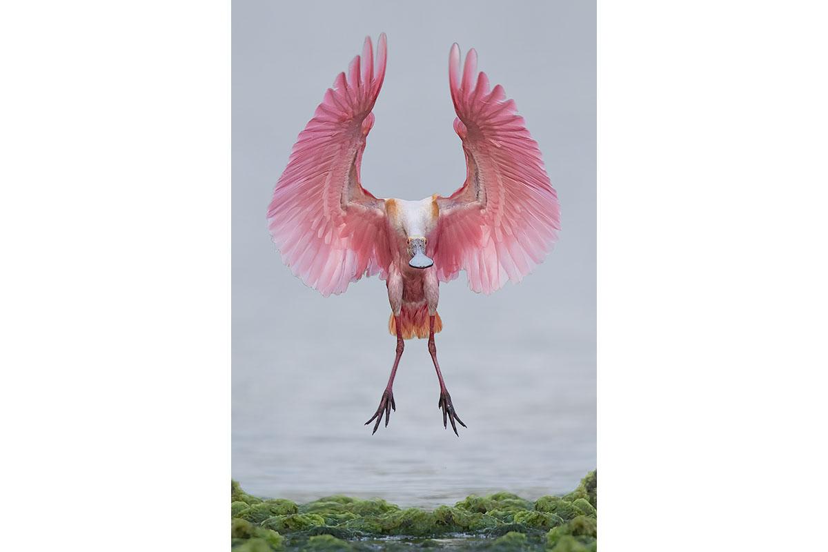 Fine Art_Florida Spoonbills_Coming In