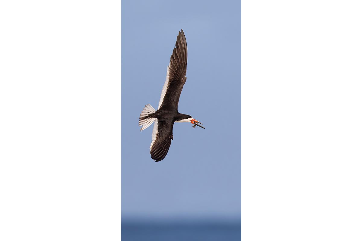 Fine Art Florida Birds_Skimming Prize