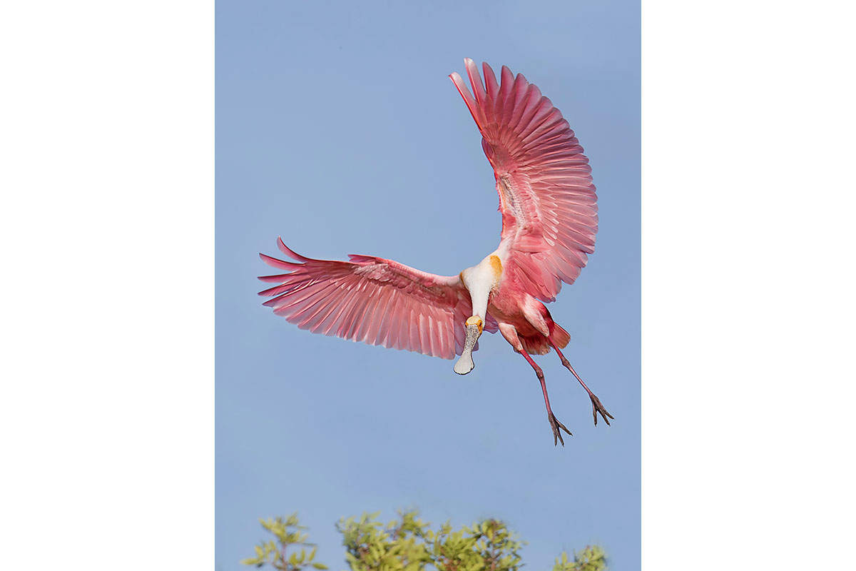 Fine Art_Florida Spoonbills_Approaching The Trees