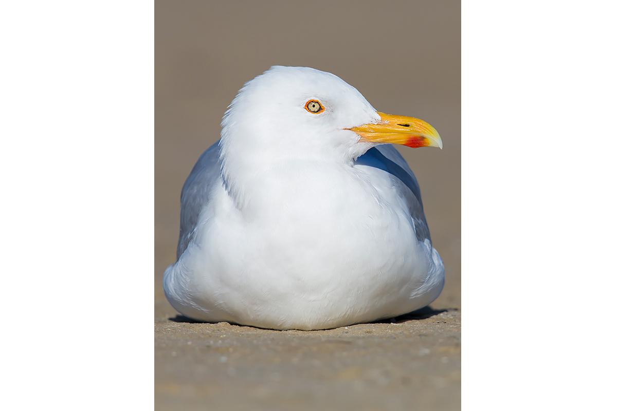 Fine Art Florida Birds_Herring Gull