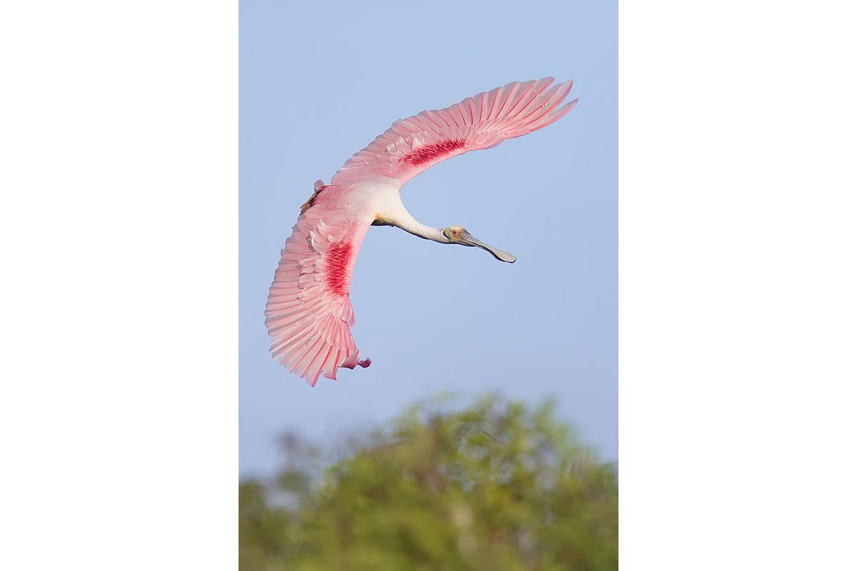 Fine Art_Florida Spoonbills_Flight Maneuver Above The Trees