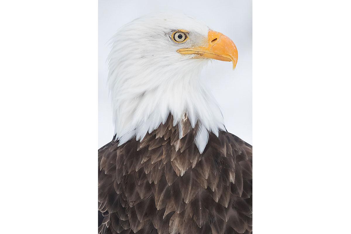 Alaska Bald Eagles_Fine Art_Bald Portrait