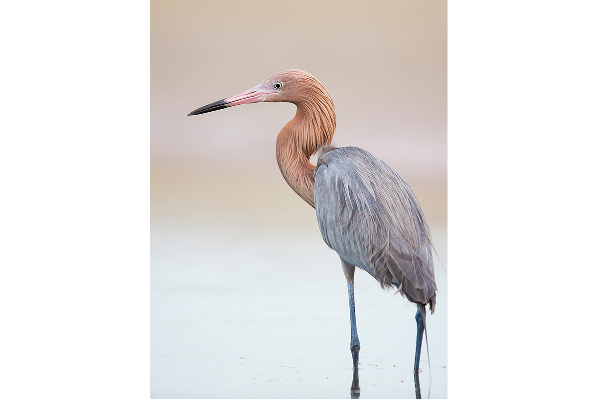 Fine Art Florida Birds_Reddish Posture