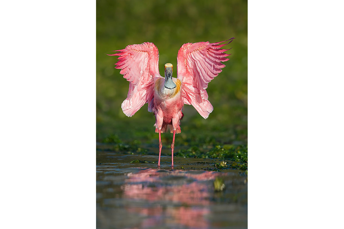 Fine Art_Florida Spoonbills_Short Flap