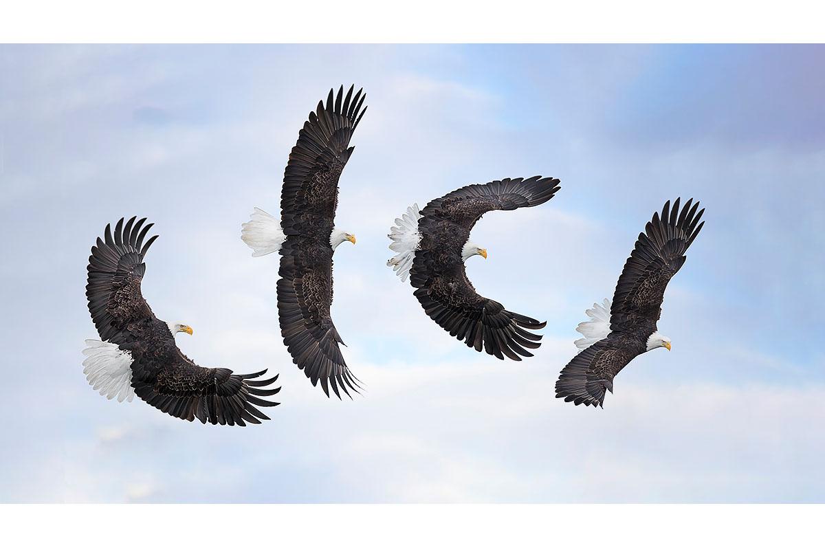 Alaska Bald Eagles_Fine Art_Banking Breakdown