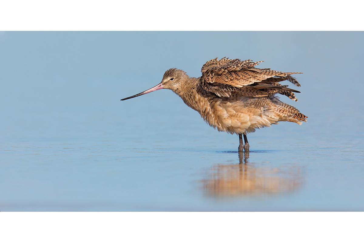 Fine Art Florida Birds_Godwit Ruffles