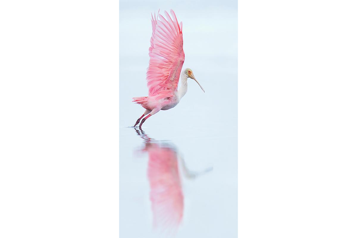 Fine Art_Florida Spoonbills_Take Off Reflection