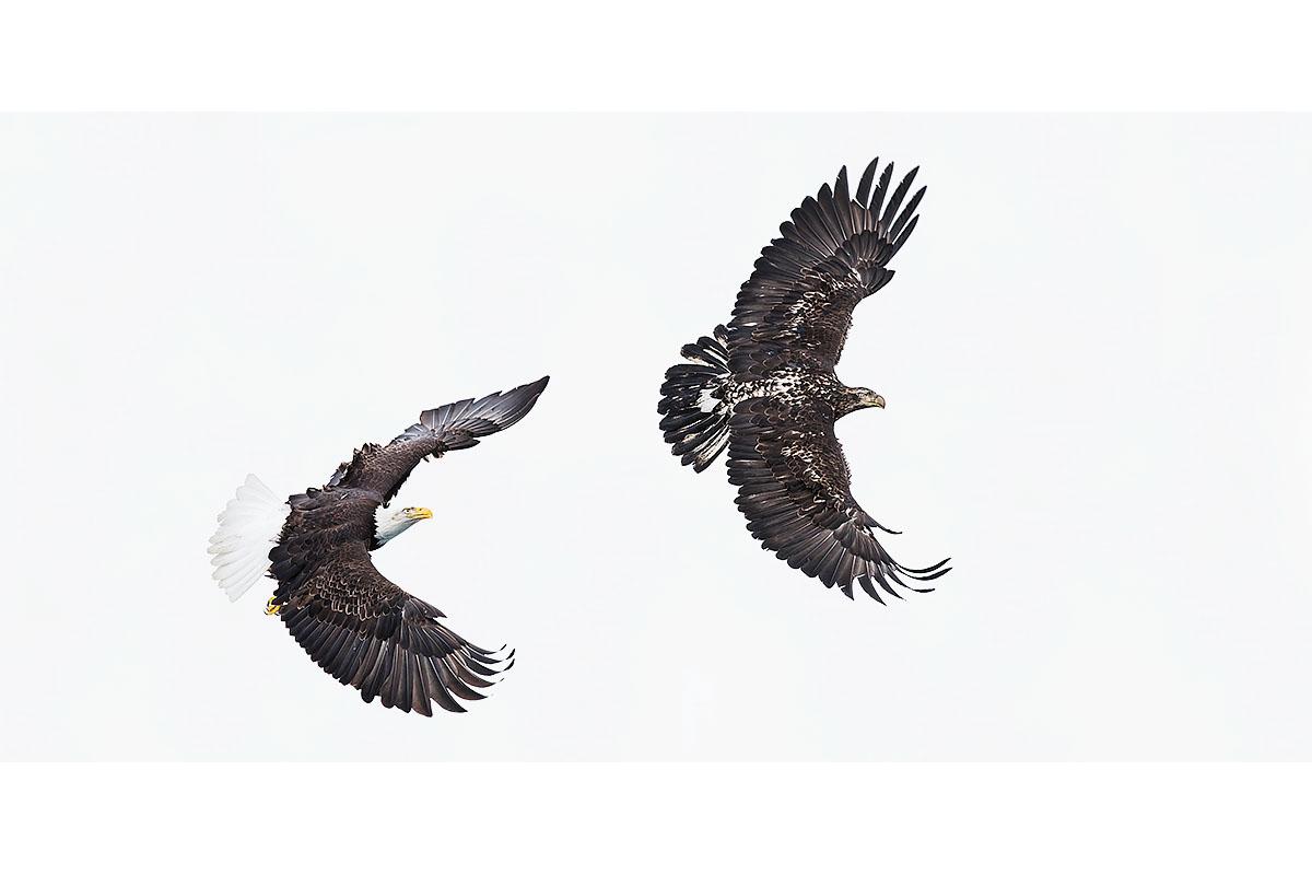Alaska Bald Eagles_Fine Art_Sky Games