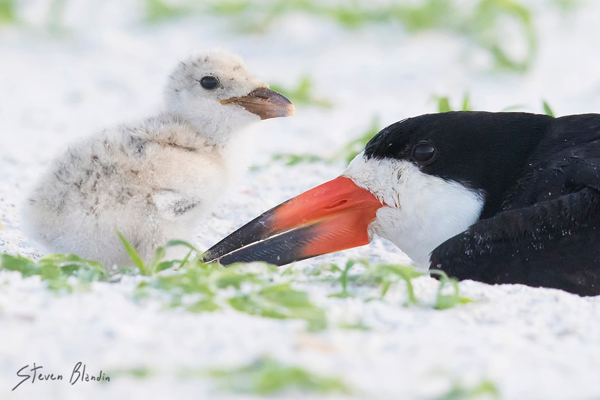 Black Skimmer with chick - Sarasota Florida