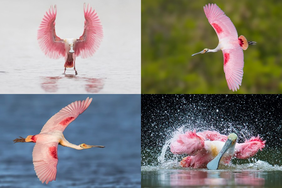 Florida Spoonbills Photography Workshop