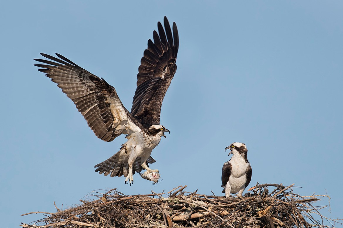 Florida Osprey Workshop