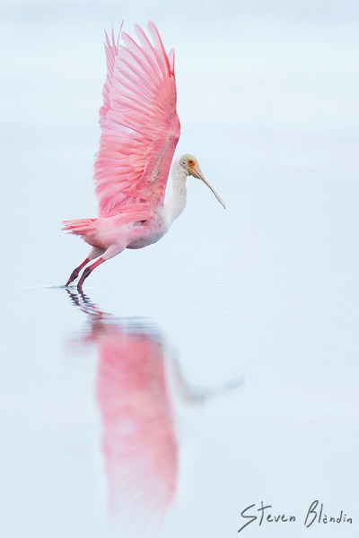 Roseate Spoonbill taking off - Photography Workshop