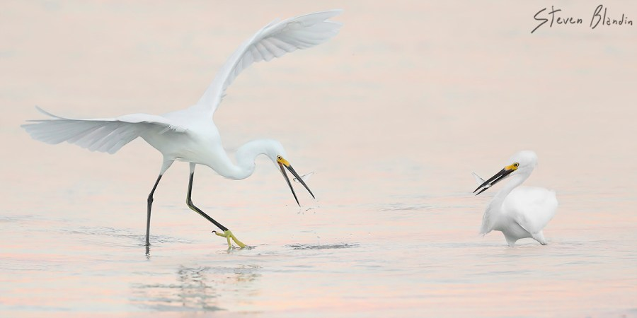 Bird Photography at Fort Desoto - Snowy Egrets